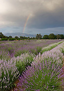 Fields of lavender in New Mexico with a rainbow.