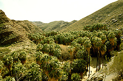 California: Palm Springs.  Indian palm canyons.  Photo #: capalm103..Photo copyright Lee Foster, 510/549-2202, lee@fostertravel.com, www.fostertravel.com