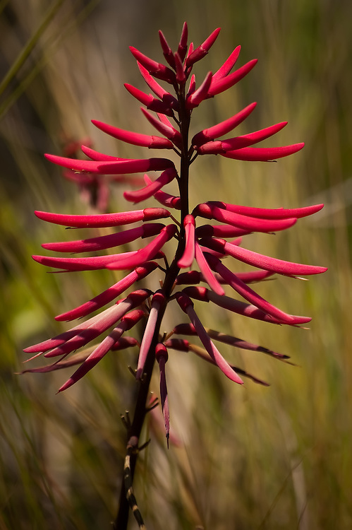 As in many other instances in the natural world, brilliant red coloring stands as a warning to those looking for an easy meal. When the flowers of the coral bean are pollinated, the resulting seedpods contain a number of bright red seeds that are high in alkaloids - toxic to both humans and wildlife and known to cause paralysis when ingested.
