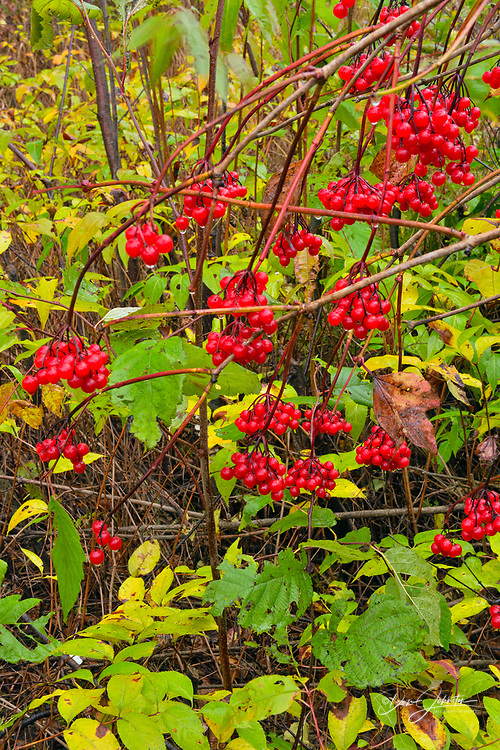 High Bush Cranberry (Viburnum trilobum), with raindrops, Greater Sudbury, Ontario, Canada