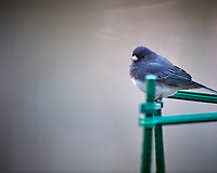 Dark-eyed Junco. Image taken with a Nikon D5 camera and 600 mm f/4 VR lens (ISO 1600, 600 mm, f/4, 1/200 sec).