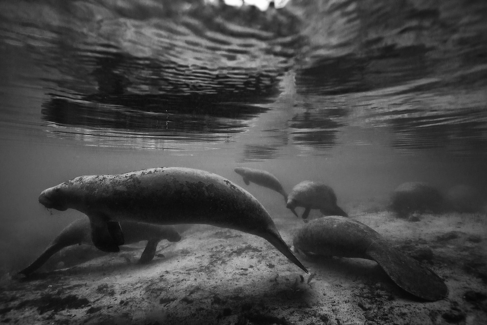 Black and white portrait of a pod of manatees submerged and resting in Crystal River, FL.