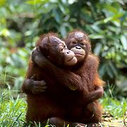 Orangutan, (Pongo pygmaeus) Juvenile pair hugging one another. Northern Borneo. Malaysia. Controlled Conditons.