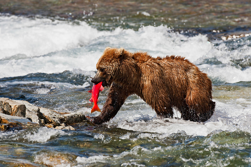 Alaska.  A single adult Brown Bear (Ursus arctos) carries a bright red Sockeye Salmon (Oncorhynchus nerka) out of the rapids of a creek in Katmai National Preserve in early August.