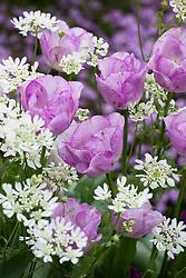 Tulipa 'Shirley' with Orlaya grandiflora (White laceflower)