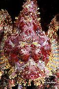 Pacific spotted scorpionfish, Scorpaena mystes, Galapagos Islands, Ecuador,  ( Eastern Pacific Ocean )