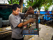 07 APRIL 2017 - BANGKOK, THAILAND:  A man looks at his songbirds in a cage in Pom Mahakan. Thais frequently keep songbirds as pets. The final evictions of the remaining families in Pom Mahakan, a slum community in a 19th century fort in Bangkok, have started. City officials are moving the residents out of the fort. NGOs and historic preservation organizations protested the city's action but city officials did not relent and started evicting the remaining families in early March.             PHOTO BY JACK KURTZ