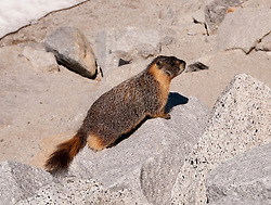 California: Marmot in High Country at Yosemite National Park.   Photo copyright Lee Foster california120862.