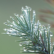 Pine Tree branch with early morning dew, Sierra de Andujar Natural Park, Sierra Morena, Andalucia, Spain, water droplets