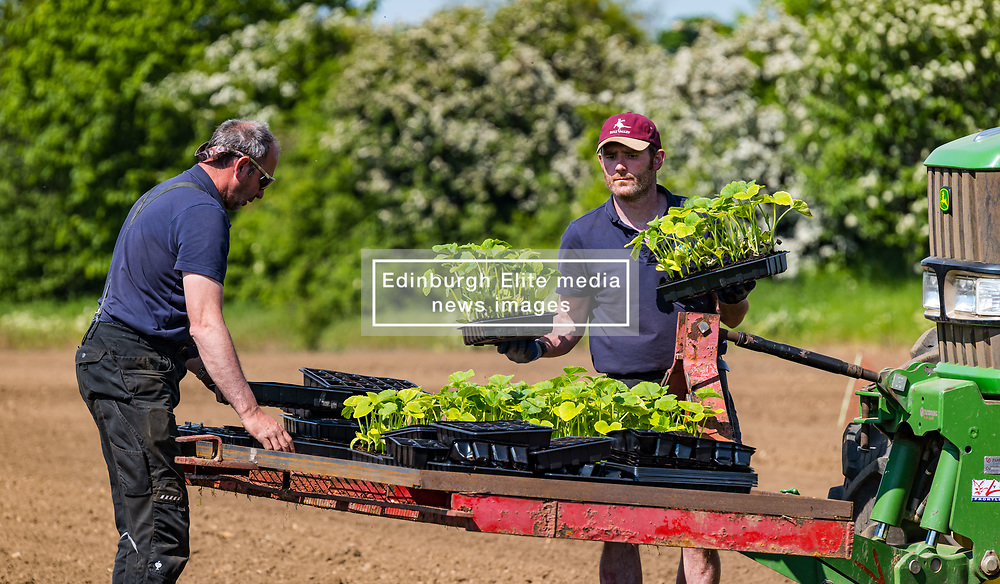 Kilduff Farm, East Lothian, Scotland, UK 1st June 2021. Pumpkin planting: It's hot work in the sunshine for farmer Russell Calder and his team planting pumpkin seedlings for their popular annual pumpkin patch in October. The field is planted with a variety of culinary and Halloween pumpkins.<br /> Sally Anderson | EdinburghElitemedia.co.uk