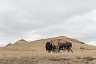 A bison blends into the North Dakota landscape at Theodore Roosevelt National Park