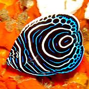 Emperor Anglefish inhabit reefs. Picture taken Raja Ampat, Indonesia