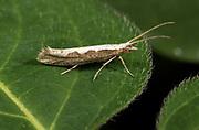 Diamondback Moth, Plutella xylostella, garden, Kent UK, micro moth, pest for crops,
