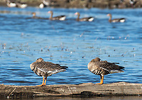 Greater White-fronted Geese, Anser albifrons, at Colusa National Wildlife Refuge, California
