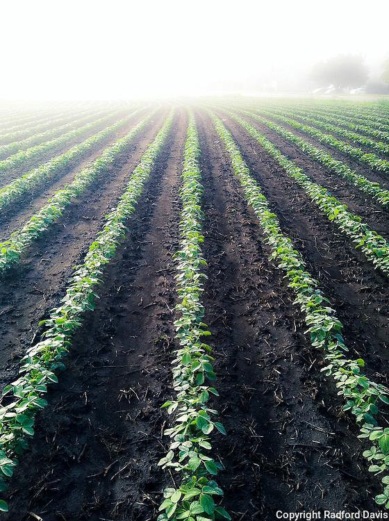 Soybean field, Ames, Iowa