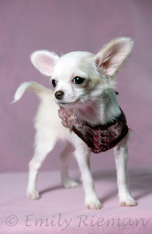 White chihuahua puppy in pink shirt