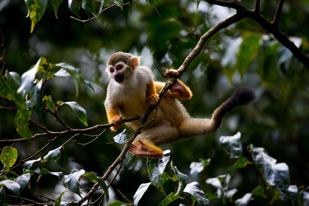 Parauapebas_PA, Para...Macaco de cheiro (saguinus sciureus) em galho de arvore na floresta nacional de Carajas...south american mokey (Saguinus sciureus) at branch of a tree a in Carajas National Forest...Foto: JOAO MARCOS ROSA / NITRO