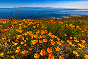 California poppies (Eschscholzia californica) grow on the slope of Mount Finlayson, which stands on San Juan Island in Washington state, overlooking South Beach, the Strait of Juan de Fuca, and the Olympic Mountains. The mountain and the beach are part of San Juan Island National Historical Park.