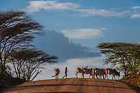 Boy herding cattle  across a dirt road in the Omo Valley, Ethiopia.