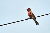 Male House Finch (Carpodacus mexicanus) perched on a wire, Jocotopec, Jalisco, Mexico