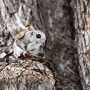 This is a male Japanese dwarf flying squirrel (Pteromys volans orii). This sub-species of Siberian flying squirrel, found only in Hokkaido, Japan and known locally as ezo-momonga, is primarily nocturnal. This imdividual was active during the day because it was competing for the attention of a female in oestrous. The squirrel's paddle-like tail is visible from this angle, flopped over its back. This animal uses its tail somewhat like a rudder during flight, helping to adjust direction.