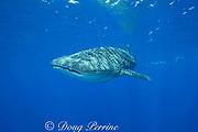 whale shark ( Rhincodon typus ) and snorkelers, Kona Coast of Hawaii Island ( the Big Island ) Hawaiian Islands, USA ( Central Pacific Ocean ) MR 360