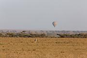 Cheetah hunting gazelle while a hot air balloon flies in the distance in Tanzania, Africa