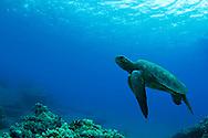 Green Sea Turtle, Mala Pier, Chelonia mydas, Maui Hawaii