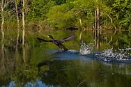 A Double-crested Cormorant splashes as it runs on the surface of the water to take off in flight. (Michigan)