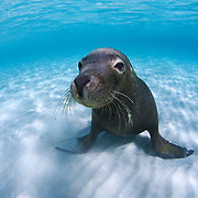 Juvenile male Australian sea lion (Neophoca cinerea) sitting on white sand in shallow water
