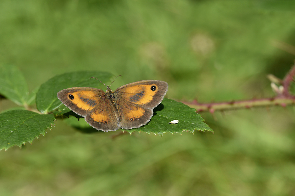 Gatekeeper - Maniola tithonius