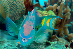 The grinning Parrotfish flashes its tooth-like beak as it bites coexisting algae out of the coral.