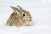 Stock photo of mountain cottontail captured in Colorado.  These cottontails prefer grass but lives mostly on sagebrush and will eat juniper berries.