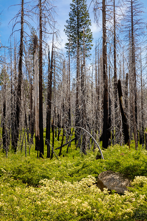 """""""Burnt Trees 1"""" - Photograph of burnt trees and fresh green growth at Big Meadows Campground above Hell Hole Reservoir, California."""