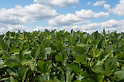 Soy bean plants against a cloudy blue sky.