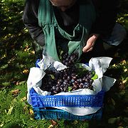 Ray Davies harvests damsons in his orchard at Garden House in Reeth, Swaledale, Yorkshire Dales, North Yorkshire, UK. Once the crop is harvested the fruit is made into damson cheese.