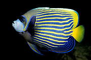 Emperor Angelfish, Pomacanthus imperator, blue and yellow stripe body