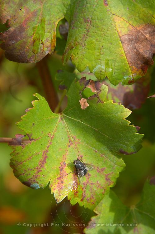 Domaine d'Aupilhac. Montpeyroux. Languedoc. Fly on a vine leaf. Vine leaves. Carignan . France. Europe.