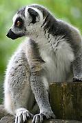 Apenheul is een gespecialiseerde dierentuin aan de rand van de Nederlandse stad Apeldoorn. De tuin ligt midden in het natuurpark Berg & Bos (200 ha). In Apenheul leven apen uit Afrika, Zuid-Amerika en Azië. De dieren leven er heel vrij: gaas of tralies ziet men er bijna niet. Sommige soorten lopen zomaar tussen de bezoekers rond. <br /> <br /> Op de foto:  maki's of echte lemuren