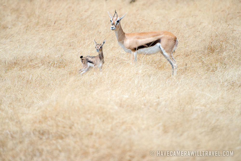 A young fawn Thomson's gazelle and its mother at Ngorongoro Crater in the Ngorongoro Conservation Area, part of Tanzania's northern circuit of national parks and nature preserves.