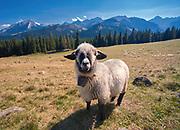 Owca na Rusinowej Polanie, Tatry, Polska<br /> Sheep on Rusinowa Glade, Tatra Mountains, Poland