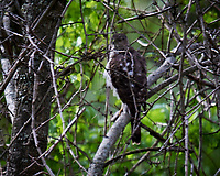 Cooper's Hawk (Accipiter cooperii). Image taken with a Nikon D4 camera and 600 mm f/4 VR lens.