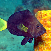 Yellowtail Hamlet inhabit reefs in Tropical West Atlantic; picture taken Bonaire.