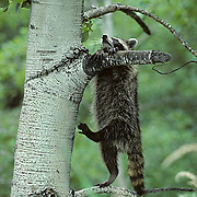Raccoon, (Procyon lotor)  Young coon hanging from aspen tree branch. Summer.