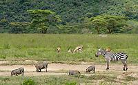Grant's Zebras, Equus quagga boehmi, Thomson's Gazelles, Eudorcas thomsonii, and Central African Warthogs, Phacochoerus africanus massaicus,  in Lake Nakuru National Park, Kenya