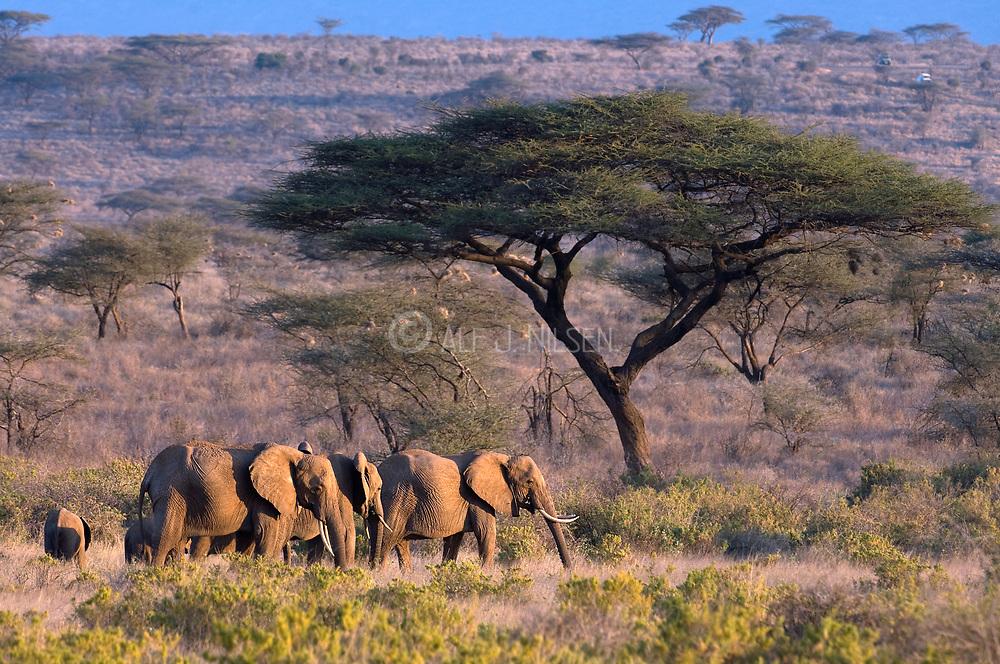 Elephants in Samburu NP, Kenya during sunset.