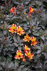 Alstroemeria Indian Summer = 'Tesronto'  - Peruvian lily