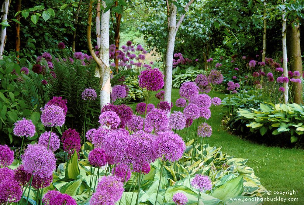 The allium and hosta walk at Lady Farm, Somerset. Allium aflatunense and Allium hollandicum 'Purple Sensation'. Design: Judy Pearce