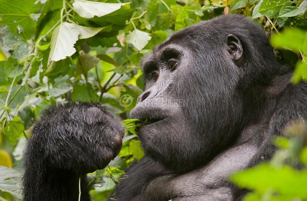 Mountain Gorilla (Gorilla berengei berengei) from Bwindi Impenetrable National Park, Uganda.