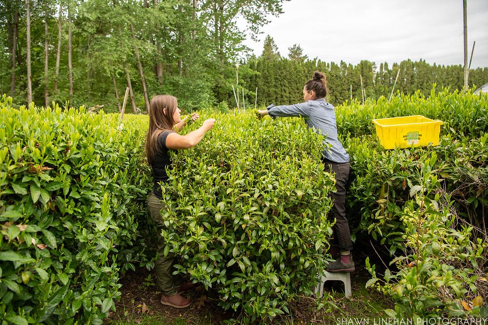 Kacie Merkle and Elizabeth Miller of Minto Island Tea Company in Salem, Oregon harvest the first flush of the season.